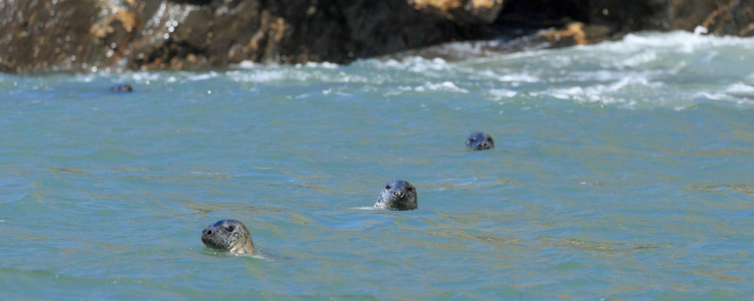 grey atlantic seals